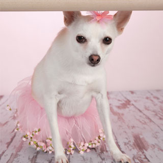 ballet_dog_small